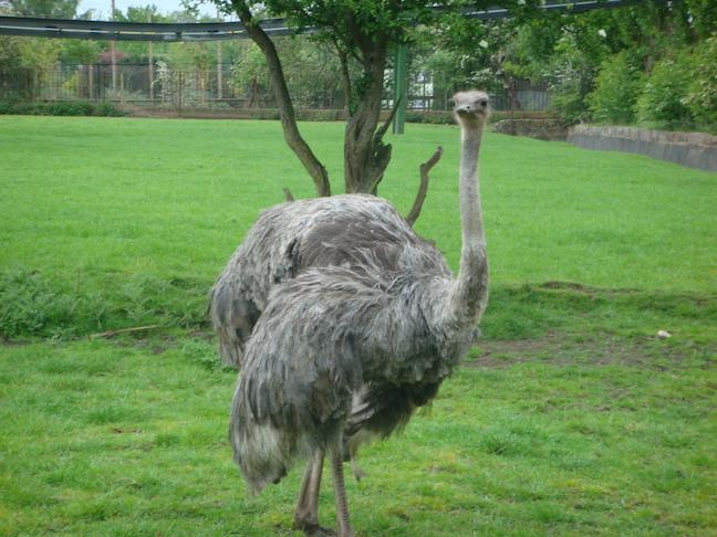 Gay emu