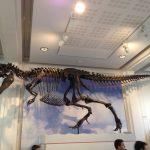 Manchester Museum Gorgosaurus Skeleton